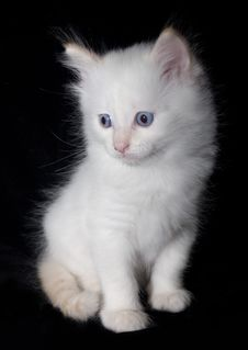 Free Doll-Face White Kitten Royalty Free Stock Photo - 2862775