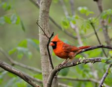 Free Cardinal (2) Royalty Free Stock Photos - 2863528