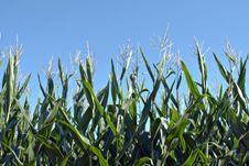 Corn 1 Stock Photography