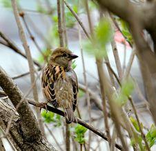 Free Sparrow Stock Photo - 2863550
