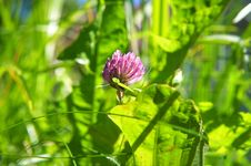 Free Red Clover And Green Grass Stock Image - 2864271