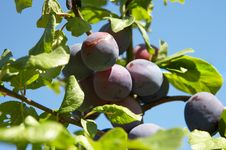 Free Plums On A Tree In Sunlight Royalty Free Stock Image - 2864336
