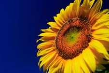 Free Sunflower Stock Images - 2864424