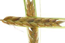 Free Barley Stock Photo - 2866150
