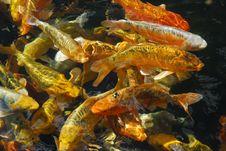 Free Carp Fish Stock Image - 2866331