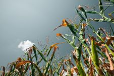Free Cornfield (Toning) Royalty Free Stock Images - 2867399