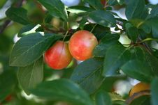 Free Cherry Plum Stock Photography - 2867572