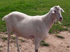 Free White Sacrificial Goat Royalty Free Stock Photo - 2867775