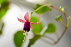 Free Fuchsia Stock Photo - 2867890