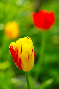 Free Tulip Yellow Stock Photo - 2867950