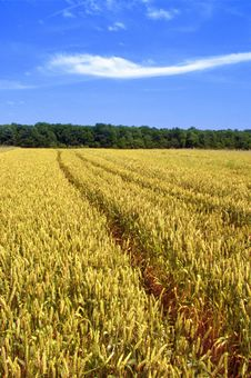 Free Golden Wheat Field Royalty Free Stock Image - 2868206