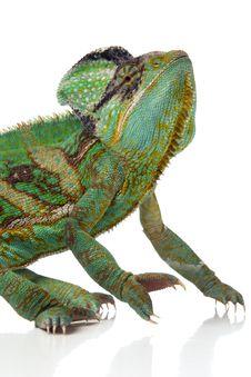 Free Chameleon Royalty Free Stock Photo - 2869845