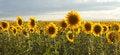 Free Sunflower Panorama Royalty Free Stock Photos - 28601248