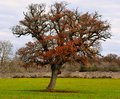 Free Oak Tree Typical Of The Countryside Of Puglia Stock Image - 28607071