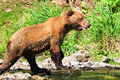 Free Alaska Brown Grizzly Bear Looking For Fish Stock Image - 28607821