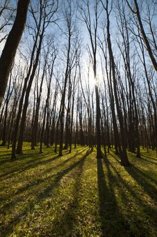 Free Spring Trees Royalty Free Stock Image - 28600206