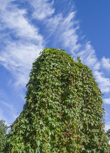 Free Green Ivy Wall On Blue Cloudy Sky Royalty Free Stock Photography - 28600487