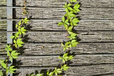 Free Green Ivy Wall On Fence Royalty Free Stock Image - 28600516