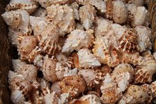 Free Sea Shells. Royalty Free Stock Photography - 28604627
