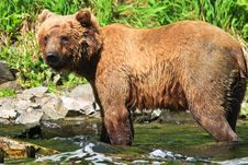 Alaska Wet Brown Grizzly Bear Royalty Free Stock Images