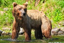 Free Alaska - Brown Grizzly Bear Dripping Wet Water Royalty Free Stock Photography - 28607857