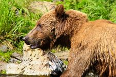 Alaska - Magnificent Brown Grizzly Bear Royalty Free Stock Photography