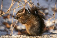 Squirrel At Winter Royalty Free Stock Photography