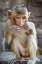 Free Sitting Monkey. Stock Photo - 28614150