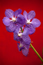 Free Violet Orchid Royalty Free Stock Images - 28614759
