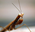 Free Praying Mantis Stock Images - 28619434