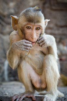 Free Sitting Monkey. Stock Photo - 28614150