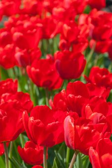 Free Red Tulips In Garden Stock Photography - 28615482