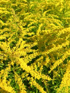 Some Beautiful Yellow Flowers Stock Photography