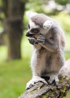Free Lemur Stock Images - 28618014