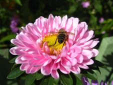 A Little Bee On The Pink Beautiful Aster Stock Image