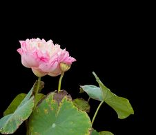 Free Pink Lotus On Black Background. Stock Image - 28618541