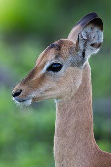 Free Puku Deer Royalty Free Stock Photos - 28618678