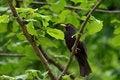 Free European Blackbird Royalty Free Stock Image - 28622956
