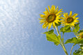 Free Twin Sunflowers Stock Image - 28625111