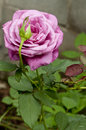 Free Purple Rose And Bud In Dew. Royalty Free Stock Photography - 28625347