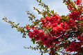 Free Japanese Quince Royalty Free Stock Image - 28627046