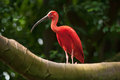 Free Pink Tropical Bird Royalty Free Stock Photography - 28629227