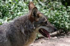 Free Wolf Stock Photo - 28622910