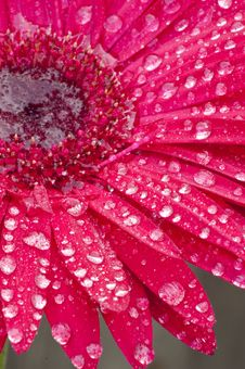 Closeup Of A Red Gerbera Daisy. Stock Photo