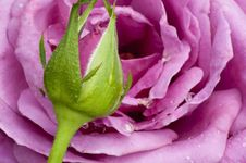 Free Closeup Lavender Rose And Bud. Royalty Free Stock Image - 28625226