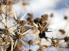 Free Eryngium Campestre &x28;Field Eryngo&x29; Plant In Winter Royalty Free Stock Images - 28627679