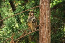 Free Zhangjiajie, China-monkeys Royalty Free Stock Photos - 28629128