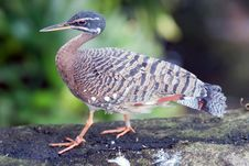 Tropical Pigeon Bird Stock Photo