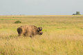 Free Buffalo In The Wild Stock Images - 28633354