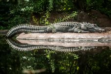 Free Crocodile Royalty Free Stock Photos - 28630148